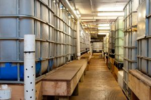 Tilapia production tanks at The Plant